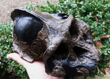 Load image into Gallery viewer, Australopithecus aethiopicus skull cast reconstruction