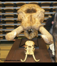 Load image into Gallery viewer, Dwarf Mammoth Skull cast replica Pleistocene. Ice Age