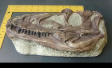 Load image into Gallery viewer, Juvenile Tyrannosaurus Rex T.rex Skull cast replica T-rex