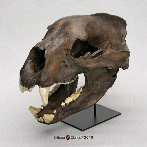 Bear: Short Faced Bear skull fossil cast replica