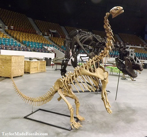 Bellusaurus Skeleton cast replica dinosaur skull