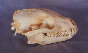 Bush Dog Skull cast replica (item #CA 23105) Skull cast replica reproduction Taylor Made Fossils