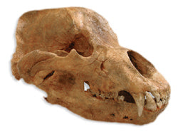 Cave Bear skull cast replica
