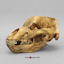 Load image into Gallery viewer, Cave Bear skull cast replica