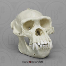 Load image into Gallery viewer, Chimpanzee: Adult Male Chimpanzee Skull cast replica