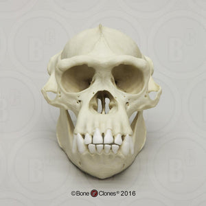 Chimpanzee: Adult Male Chimpanzee Skull cast replica
