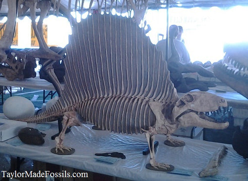 Dimetrodon skeleton cast replica