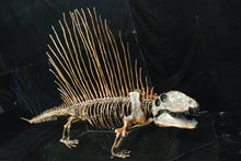 Load image into Gallery viewer, Dimetrodon skeleton cast replica 3