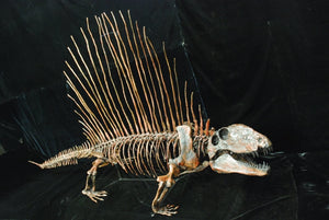 Dimetrodon skeleton cast replica 3