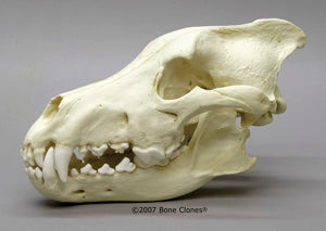 Dire Wolf Skull cast replica Antique finish (item #BC-020A) Skull cast replica reproduction Taylor Made Fossils