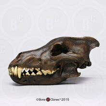 Load image into Gallery viewer, Dire Wolf Skull cast replica Tarpit finish (item #BC-020T) Skull cast replica reproduction Taylor Made Fossils