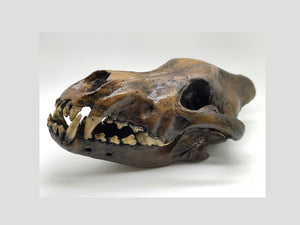 Dire Wolf Skull cast replica #V Skull cast replica reproduction Taylor Made Fossils