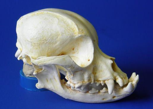 Pekingese Dog Skull cast replica (item #R S444)