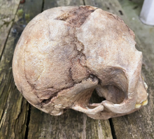 Load image into Gallery viewer, Flores hominid hobbit skull cast reconstruction