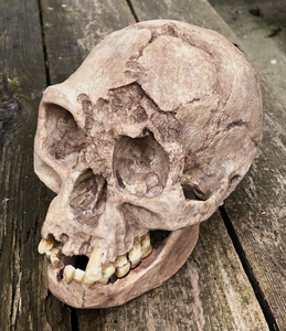 Flores hominid hobbit skull cast reconstruction
