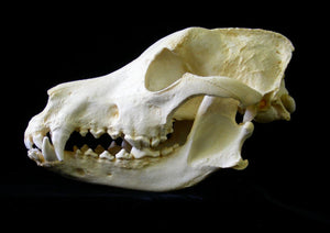 German Shepherd Dog Skull cast replica (item #CA DJL0025) skeleton reproduction Taylor Made Fossils
