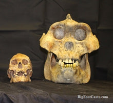 Load image into Gallery viewer, Gigantopithecus skull #2 Gigantopithecus blacki Mick Wood Reconstruction