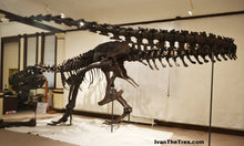 Load image into Gallery viewer, T-rex: Ivan the T.rex skeleton cast replica