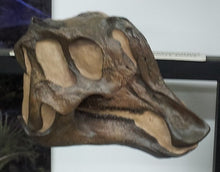 Load image into Gallery viewer, Lambeosaurus dinosaur skull cast replica