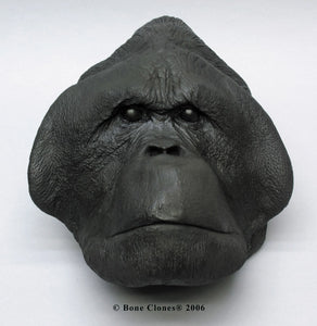 Orangutan (male) death cast replica Life cast (LC-26)