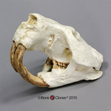 Load image into Gallery viewer, Giant Fossil Beaver Skull cast replica