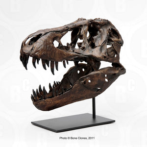 T-rex:  Stan theT.rex 1/6th scaleskull cast replica Dinosaur