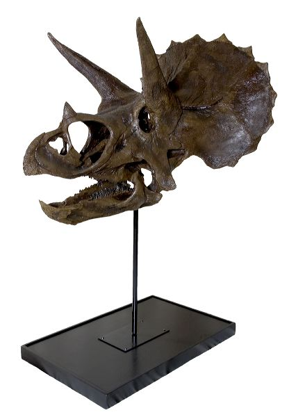 Triceratops skull cast replica reproduction for sale