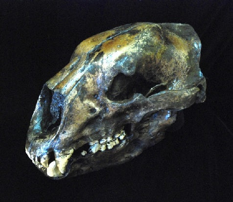 Bear: Short Faced Bear skull #2 fossil cast replica