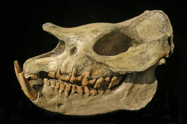 Teloceras proterum skull cast replica