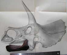 Load image into Gallery viewer, Triceratops baby jaw cast replica