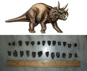 Fossil Triceratops teeth (Large)