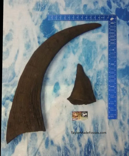 Wooly Rhino Horn Cast Replica