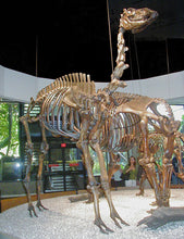 Load image into Gallery viewer, Camelops Yesterday's Camel Skeleton cast replica (mounted)