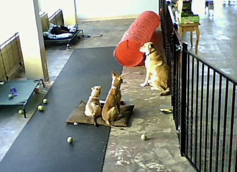 Smaller dogs look like they're listening to stories from a lab - interior shot showing the run of slip-safe mat