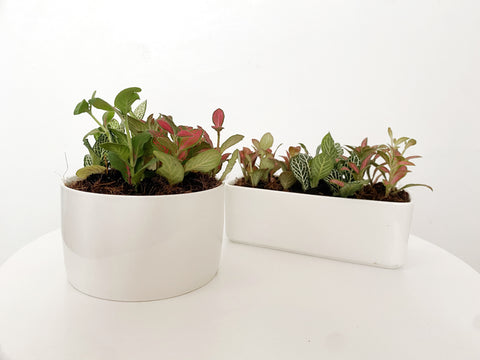 Fittonia in Porcelain Pots