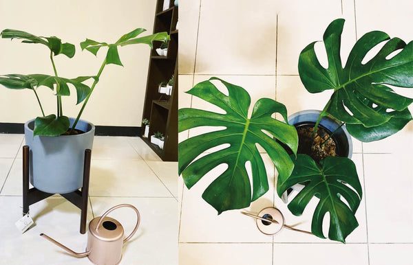 Monstera Deliciosa in Simple Cylinder Floor Planter with Stand
