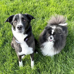 two dogs sitting on grass. the dog on the left is a collie mix. the one on the right is a Pomeranian.