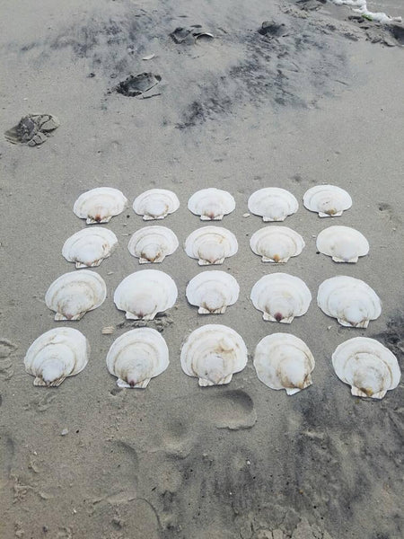 Atlantic Sea Scallop Shells