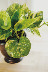 Medium Potted Pothos