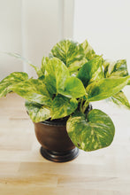 Load image into Gallery viewer, Medium Potted Pothos