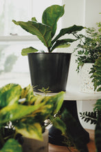 Load image into Gallery viewer, Medium Potted Fiddle Leaf Fig