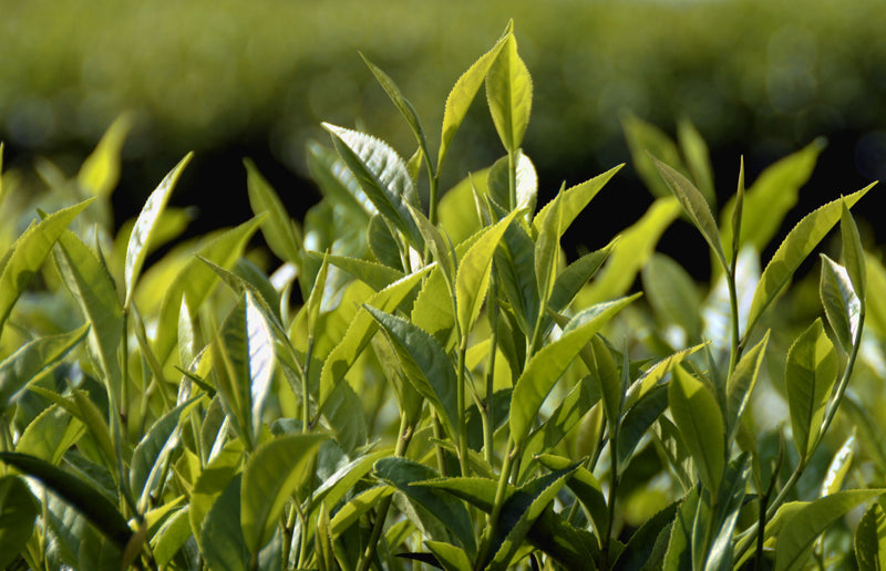 Choosing A Tea Plant - When Variety Matters And When It Doesn't