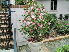 Growing Camellias In Containers