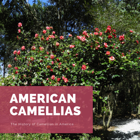 The Camellia Family
