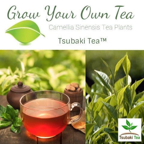 Grow Your Own Tea With Camellia Sinensis