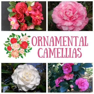 Ornamental Camellias