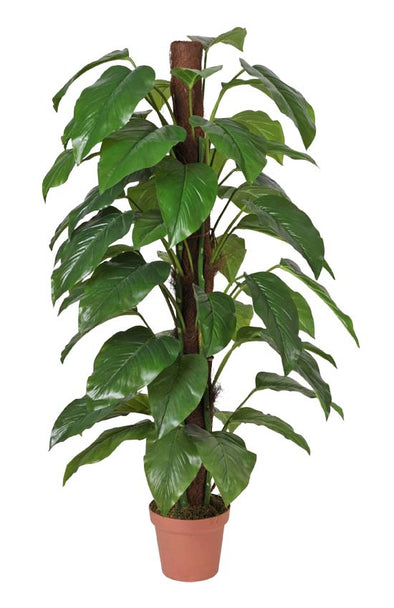 Money Plant (Aureus) - 155cm
