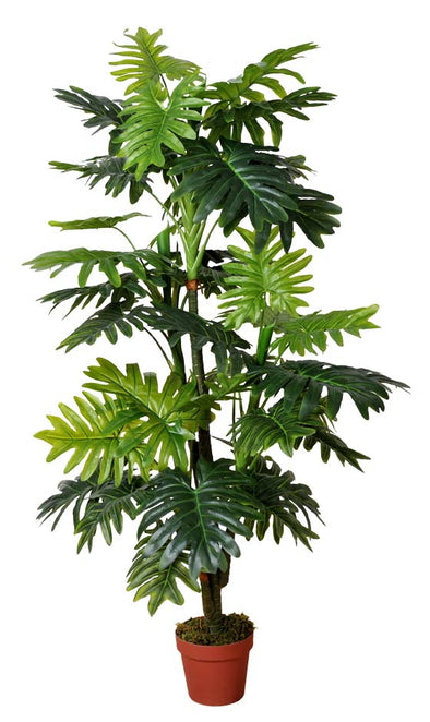 Split Leaf Multi Trunk Philodendron (King Philodendron) 150cm