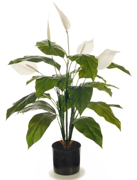 Flowering Spathiphyllum Lily 70cm (Peace Lily Plant)