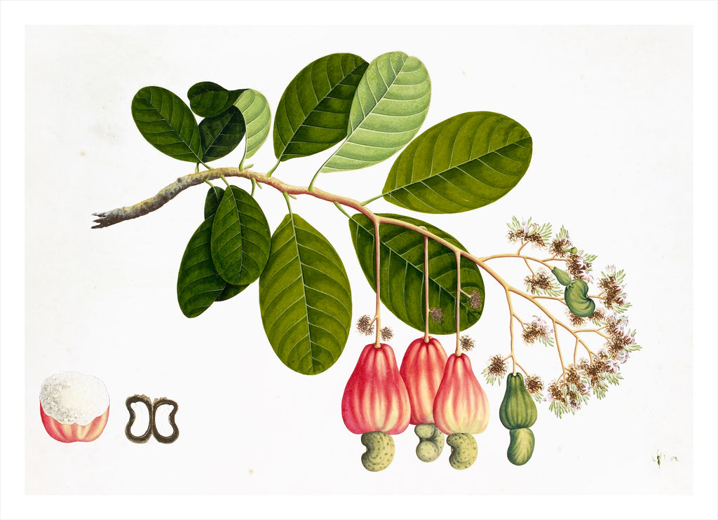 Remastered 19th C. Anglo-Indian Botanicals